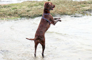Irish Setter at the sea